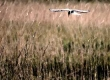 Arctic tern fishing over reeds - pic Steve Sankey