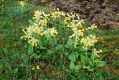 cowslips-aikerness