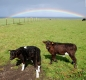 2010-calves-with-rainbow