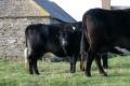 gerraquoy-cows