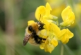 great-yellow-bumblebee-at-gerraquoy