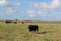 iolo-the-shetland-bull