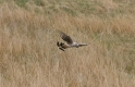 hen-harrier-female