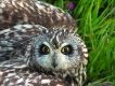 short-eared-owl-pic-drew-kennedy