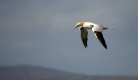 gannet-pic-sarah-sankey