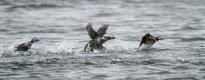 long-tailed-ducks-flying-4
