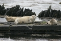bearded-harbour-seals