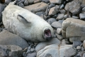 grey-seal-pups-1