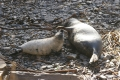grey-seal-pups-2
