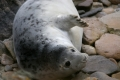 grey-seal-pups-3