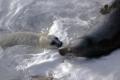 grey-seal-pups-4