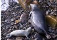 grey-seal-pups
