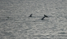 rissos-dolphin-4