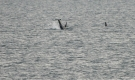 rissos-dolphin
