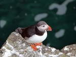 Papay Puffin 1