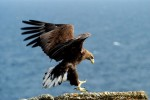 Sea eagle on South Ronaldsay - picture courtesy www.tomboftheeagles.co.uk