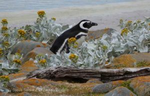 Magellanic Penguin in the Sea Cabbage.