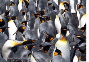 King Penguin Rookery.