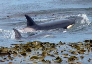 Orcas in the Kelp, Sea Lion Island.