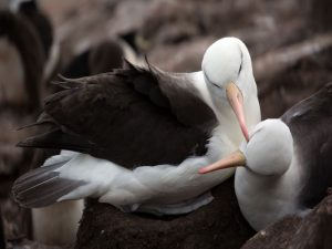 Black-browed albatrosess on Saunders Island.